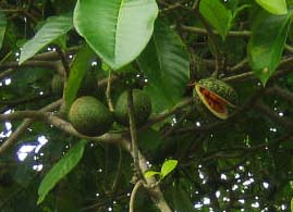 Fruits of Voacanga Africana